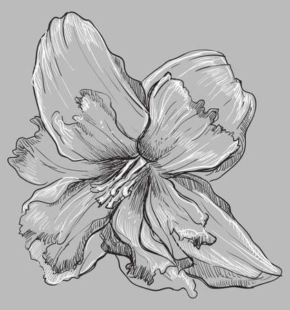 Hand drawn Narcissus flower. Vector monochrome illustration isolated on grey background.