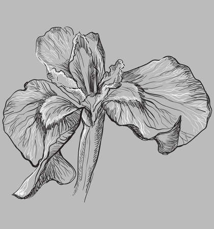Hand drawn Iris flower. Vector monochrome illustration isolated on grey background.