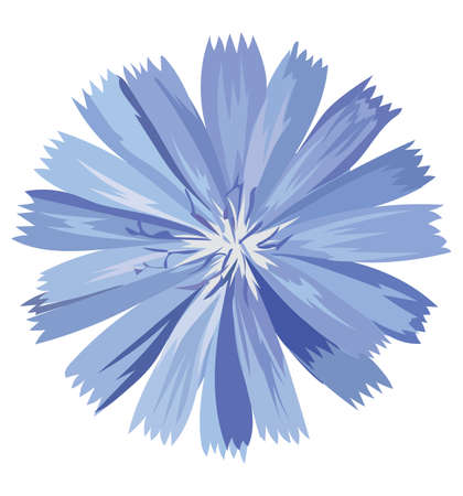 Cichorium flower. Vector colorful illustration isolated on white background.