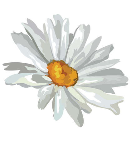 Chamomilla flower. Vector colorful illustration isolated on white background.