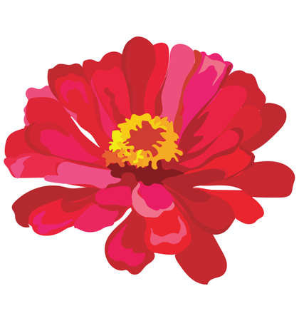 Zinnia flower. Vector colorful illustration isolated on white background. Ilustrace