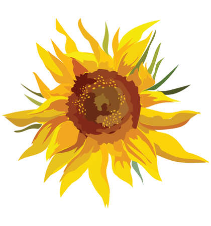 Sunflower flower. Vector colorful illustration isolated on white background.