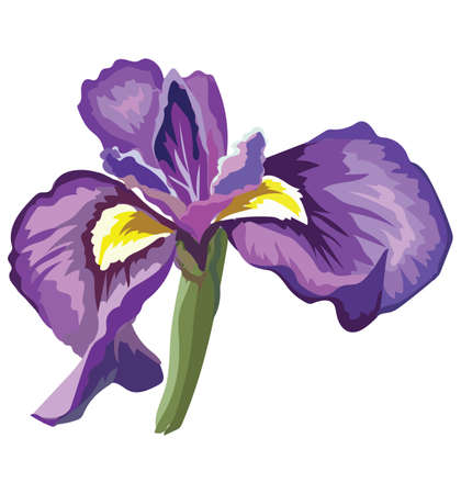 Iris flower. Vector colorful illustration isolated on white background. Ilustração