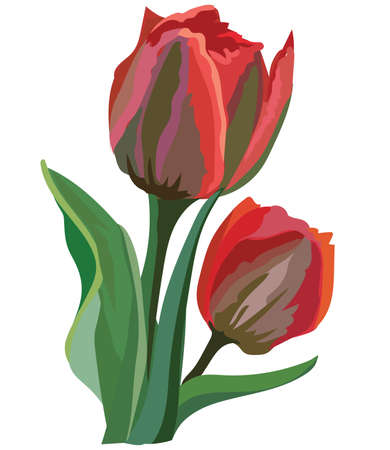 Tulip flower. Vector colorful illustration isolated on white background.