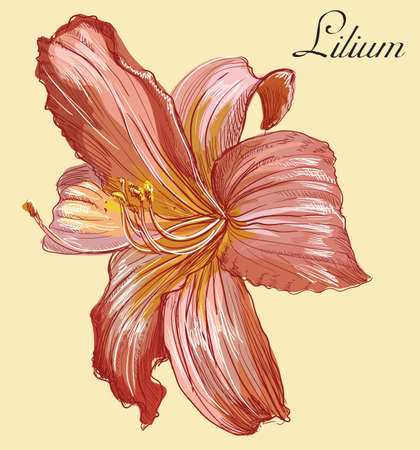 Hand drawn lilium flower. Vector colorful illustration isolated on yellow background.