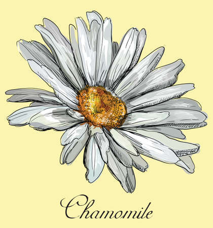 Hand drawn Matricaria chamomilla flower. Vector colorful illustration isolated on yellow background.