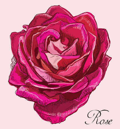 Hand drawn Tea rose flower. Vector colorful illustration isolated on pink background.