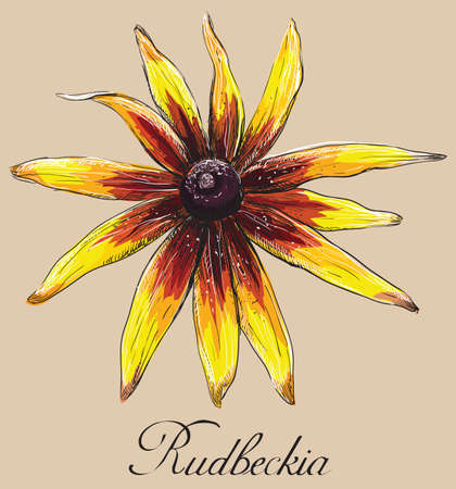 Hand drawn Rudbeckia flower. Vector colorful illustration isolated on beige background.