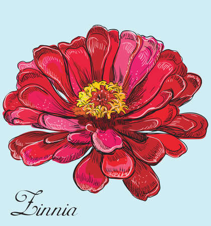 Hand drawn Zinnia flower. Vector colorful illustration isolated on pink background.