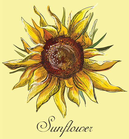 Hand drawn sunflower flower. Vector colorful illustration isolated on yellow background.