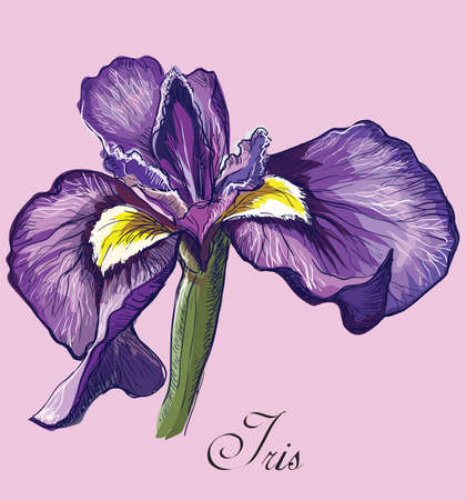 Hand drawn Iris flower. Vector colorful illustration isolated on pink background.