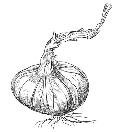 Hand drawn vegetable-onion. Vector monochrome illustration isolated on white background.  イラスト・ベクター素材