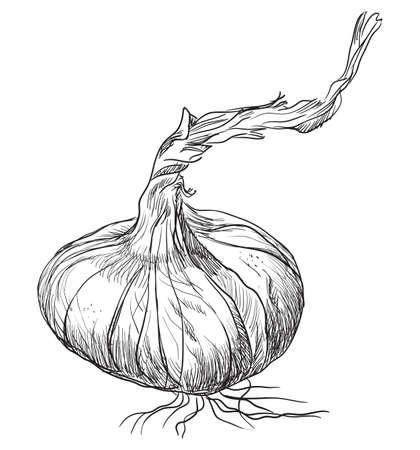 手描き野菜玉ねぎ。白い背景に分離されたベクターモノクロイラスト。