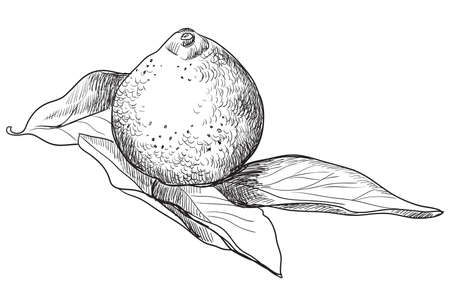 Hand drawn fruit-tangerine. Vector monochrome illustration isolated on white background.