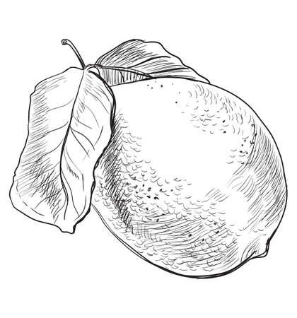 Hand drawn fruit-lemon. Vector monochrome illustration isolated on white background.