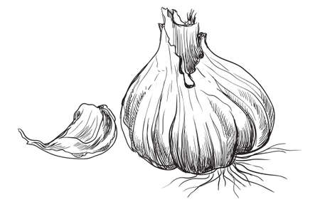 Hand drawn vegetable garlic with slice . Vector monochrome illustration isolated on white background.