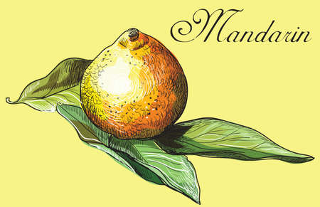 Hand drawn fruit- mandarin. Vector colorful illustration isolated on yellow background. 向量圖像