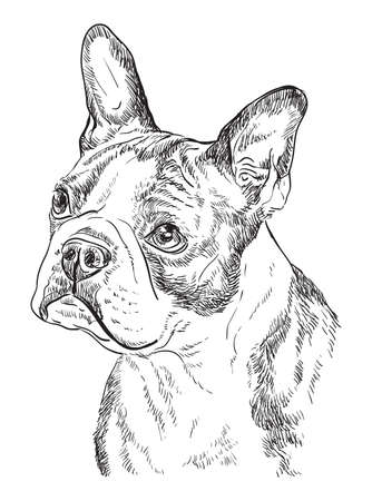 Boston terrier vector hand drawing illustration in black color isolated on white background