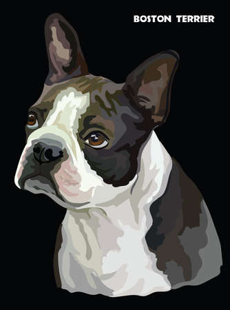 Colored portrait of Boston terrier isolated vector illustration on black background