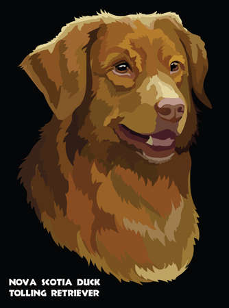 Colored portrait of Nova Scotia Duck Tolling Retriever isolated vector illustration on black background