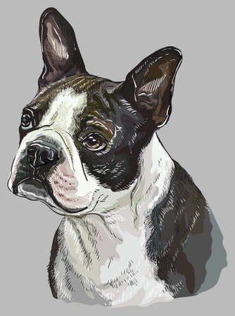 Boston terrier vector hand drawing illustration in different color on grey background