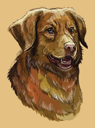 Nova Scotia Duck Tolling Retriever vector hand drawing illustration in different color on beige background