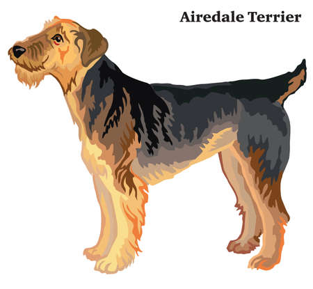 Portrait of standing in profile Airedale Terrier dog, vector colorful illustration isolated on white background