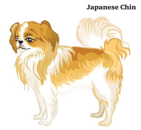 Portrait of standing in profile Japanese Chin dog, vector colorful illustration isolated on white background