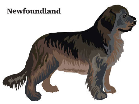 Portrait of standing in profile Newfoundland dog, vector colorful illustration isolated on white background