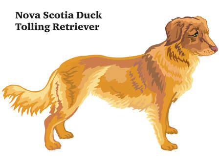 Portrait of standing in profile Nova Scotia Duck Tolling Retriever dog, vector colorful illustration isolated on white background
