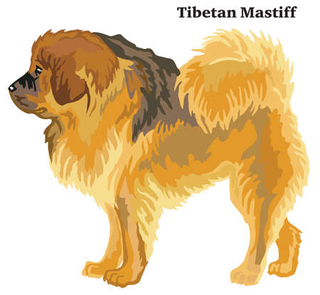 Portrait of standing in profile Tibetan Mastiff dog, vector colorful illustration isolated on white background
