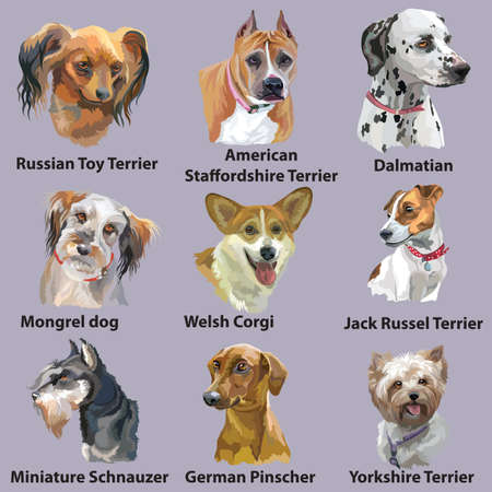Set of colorful vector portraits of dog breeds (German Pinscher; Russian Toy; dalmatian; welsh corgi; jack russel terrier; German Pinscher; Yorkshire Terrier; Miniature Schnauzer) isolated on purple background