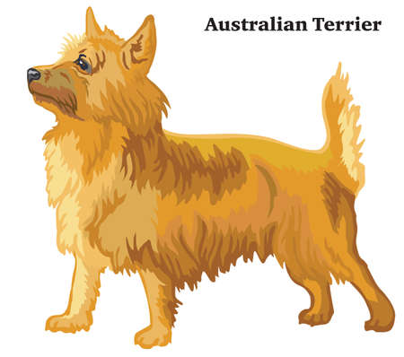 Portrait of standing in profile dog Australian Terrier, vector colorful illustration isolated on white background Foto de archivo - 126893728