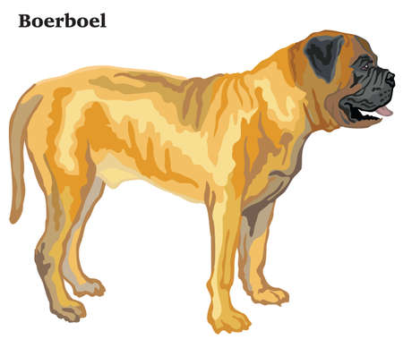Portrait of standing in profile Boerboel dog, vector colorful illustration isolated on white background Stock fotó - 126893729