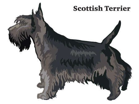 Portrait of standing in profile dog Scottish Terrier, vector colorful illustration isolated on white background