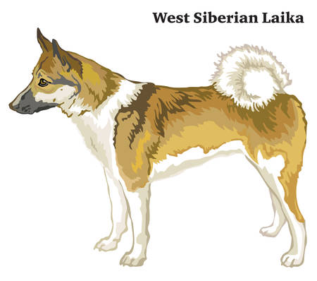 Portrait of standing in profile dog West Siberian Laika, vector colorful illustration isolated on white background Illustration