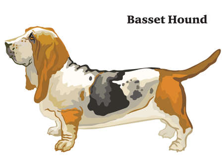 Portrait of standing in profile Basset Hound dog, vector colorful illustration isolated on white background