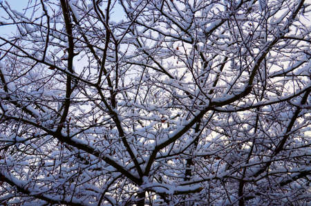 Stock image. Branches of Bush in rime ice. Winter image.