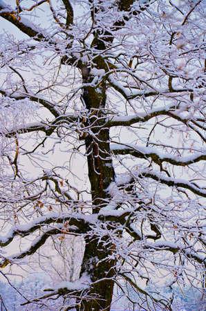 Stock image. Trunk of oak tree in rime ice. Winter image.
