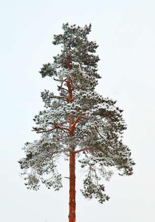 Stock image. Trunk of pine tree in rime ice. Winter image. Stock fotó