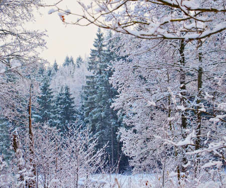 Stock image. Branches of trees and bushes in rime ice. Winter forest landscape.