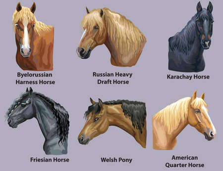 Set of portraits of horses and pony breeds (Russian Heavy Draft Horse; Welsh Pony; Friesian horse; American Quater horse) isolated on purple background. Vector colorful illustration. Illusztráció