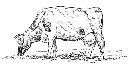 Vector hand drawing Illustration cow on pasture standing in profile. Monochrome vector hand drawing sketch illustration in black color isolated on white background.