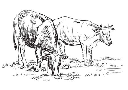 Vector hand drawing Illustration cows on pasture standing in profile. Monochrome vector hand drawing sketch illustration in black color isolated on white background.