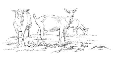 Vector hand drawing Illustration goats on pasture standing in profile. Monochrome vector hand drawing sketch illustration in black color isolated on white background.  イラスト・ベクター素材