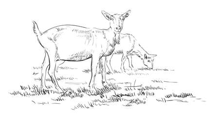 Vector hand drawing Illustration goats on pasture standing in profile. Monochrome vector hand drawing sketch illustration in black color isolated on white background. Illustration