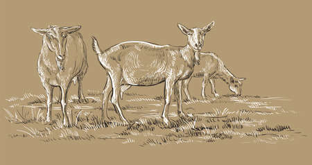 Vector hand drawing Illustration goats on pasture standing in profile. Monochrome vector hand drawing sketch illustration in black and white colors isolated on beige background.