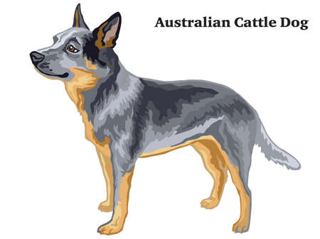 Decorative outline portrait of standing in profile Australian Cattle Dog, vector colorful illustration isolated on white background. Image for design. Иллюстрация