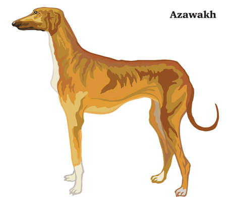 Decorative outline portrait of standing in profile dog Azawakh, vector colorful illustration isolated on white background. Image for design.