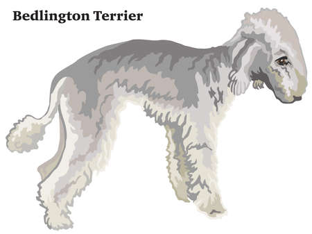 Decorative outline portrait of standing in profile dog Bedlington Terrier, vector colorful illustration isolated on white background. Image for design. Illustration
